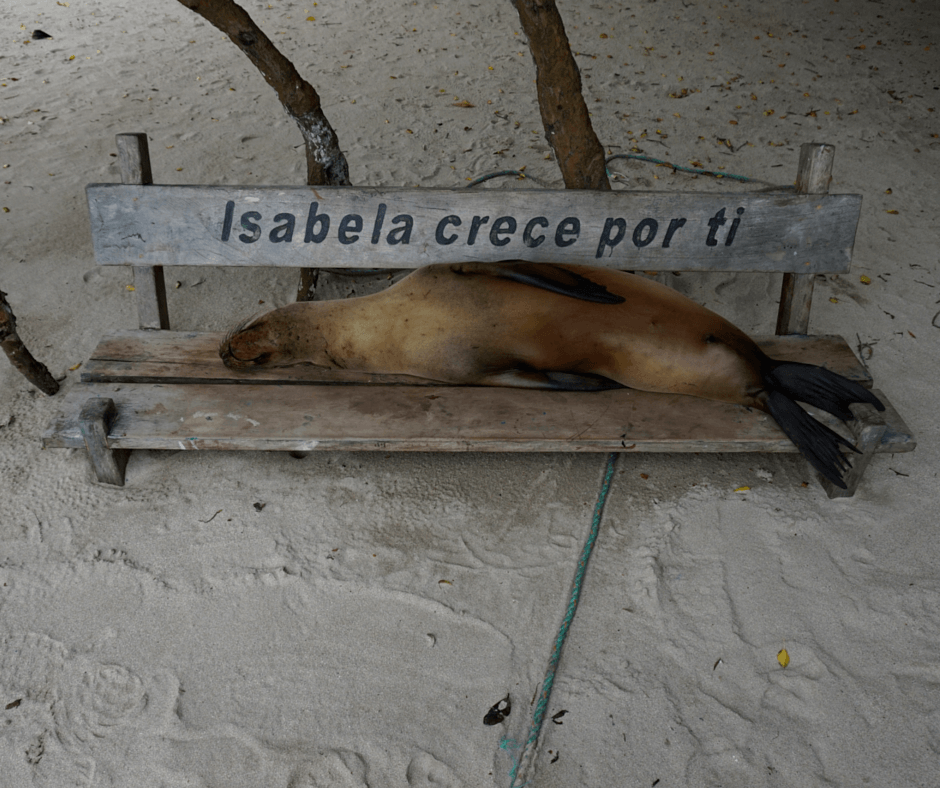 Sea Lion sleeping on a bench by the water in the Galapagos