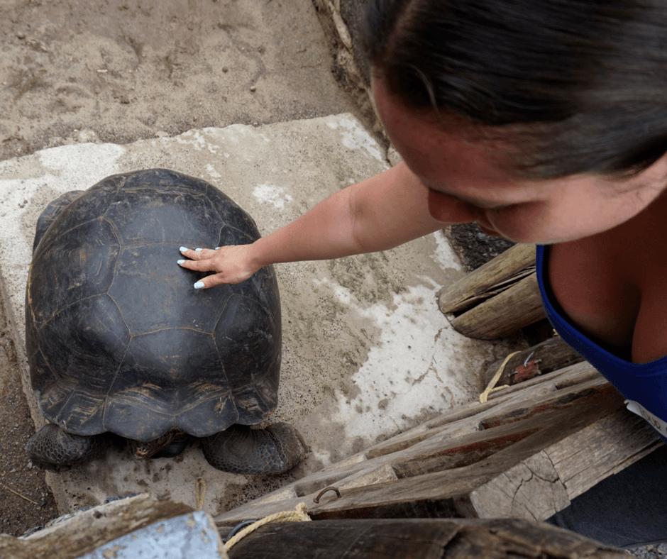 petting a tortoise in Tortoises in Centro de Crianza Arnaldo Tupiza, Isabela's Tortoise Breeding Center