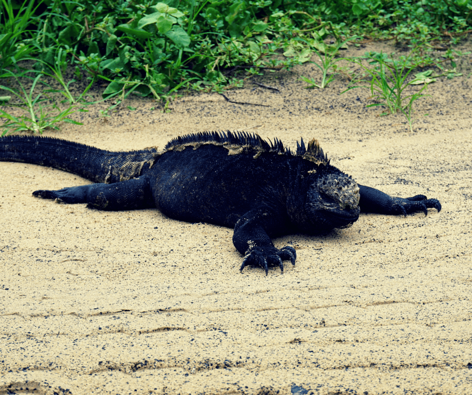 Iguana on the sand in the Galapagos