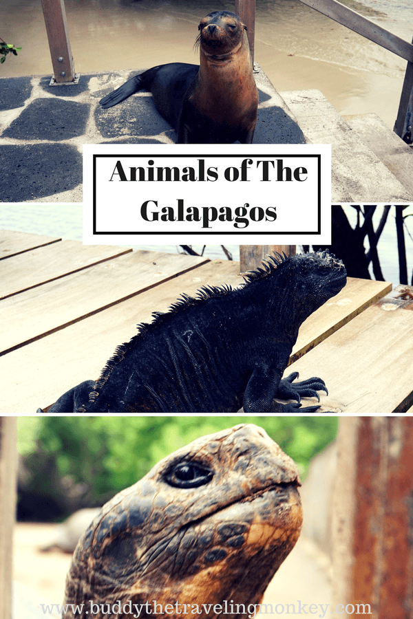 The Galapagos Islands have a variety of animals unlike anywhere else on the planet. Our favorites were the sea lions, iguanas, and tortoises.