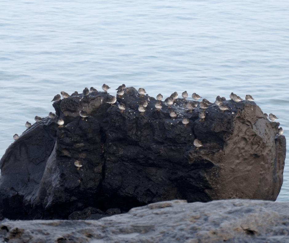 Birds along the western coast of Reykjavik, Iceland