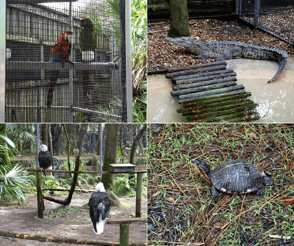 birds, alligator, bald eagles, and turtles at Busch Wildlife Sanctuary
