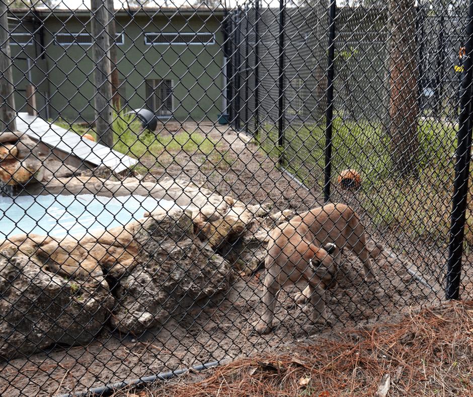Florida panther at Busch Wildlife Sanctuary
