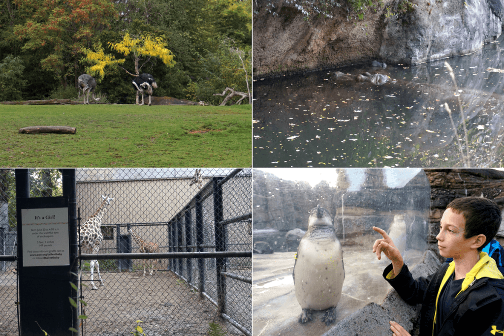 Ostriches, hippos, giraffes, and penguins at the Woodland Park Zoo