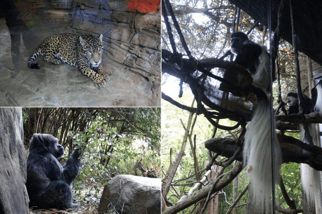 Jaguars, gorillas, and monkeys at the Woodland Park Zoo