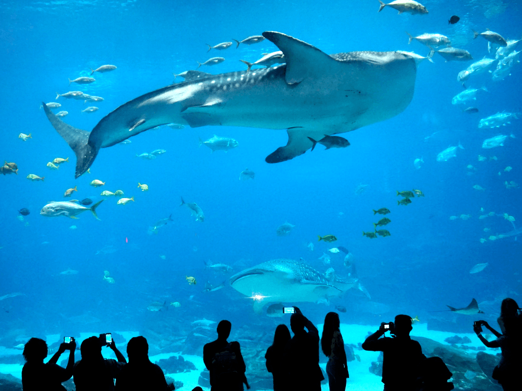 Seeing these whale sharks at the Georgia Aquarium was absolutely amazing!