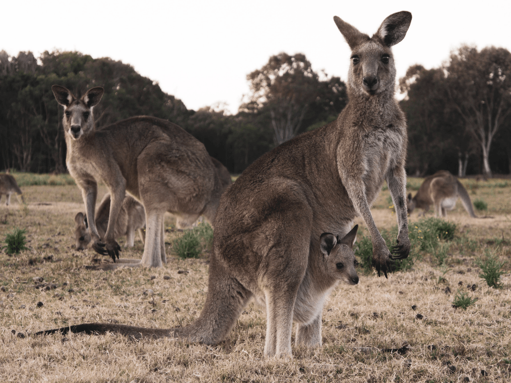 Feed kangaroos at Cleland Wildlife Park, one of the top Adelaide attractions.