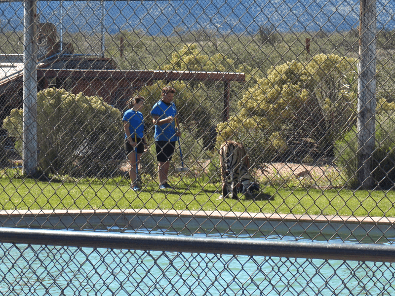During the Tiger Splash Show, trainers play with tigers and get them to jump in the pool.