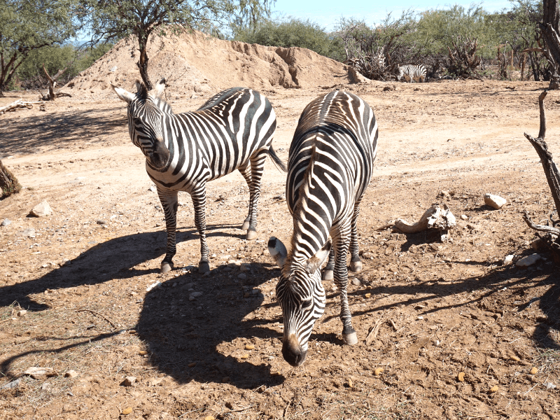 Zebras at Out of Africa Wildlife Park Arizona