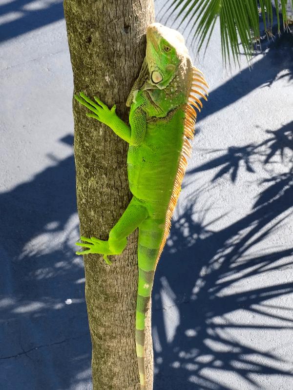 Green iguana in the Florida Keys
