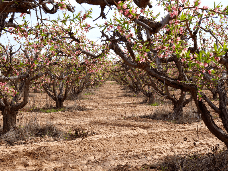 Rows of beautiful peach blossoms are what you can see on weekend getaways from Phoenix