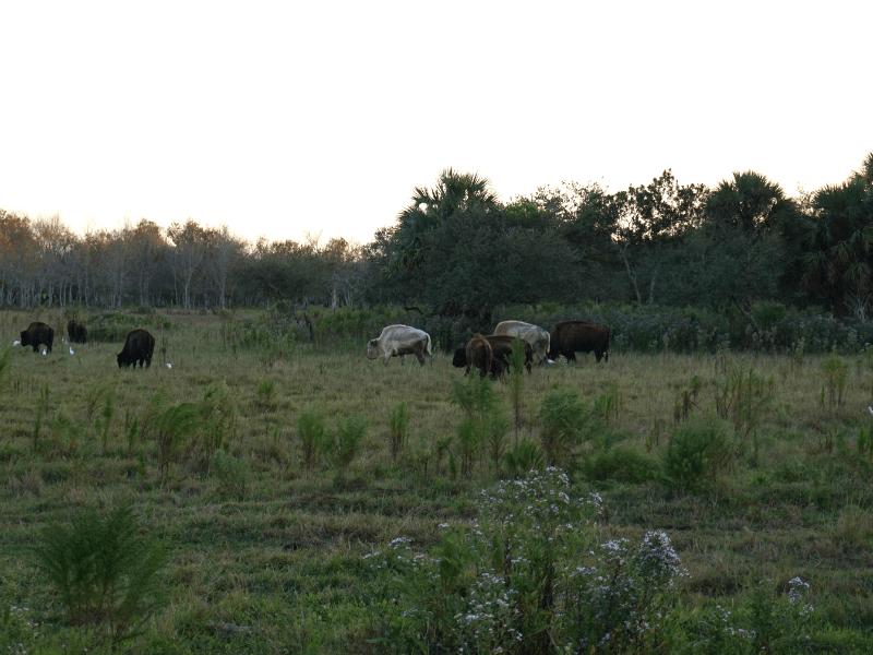 White buffalo in the Everglades