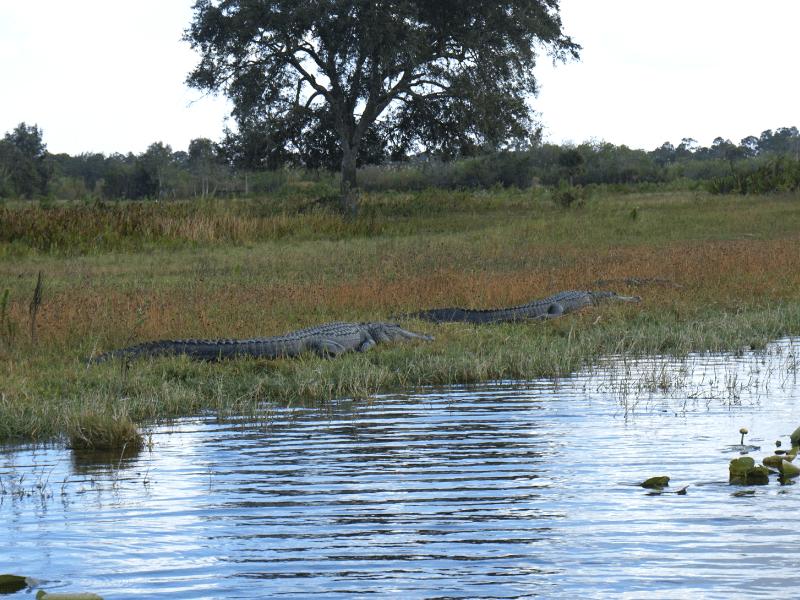 Alligators in the Florida Everglades