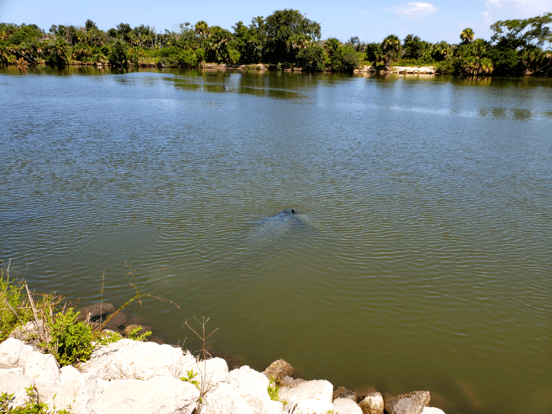 manatees at the observation deck at the Merritt Island Wildlife Refuge