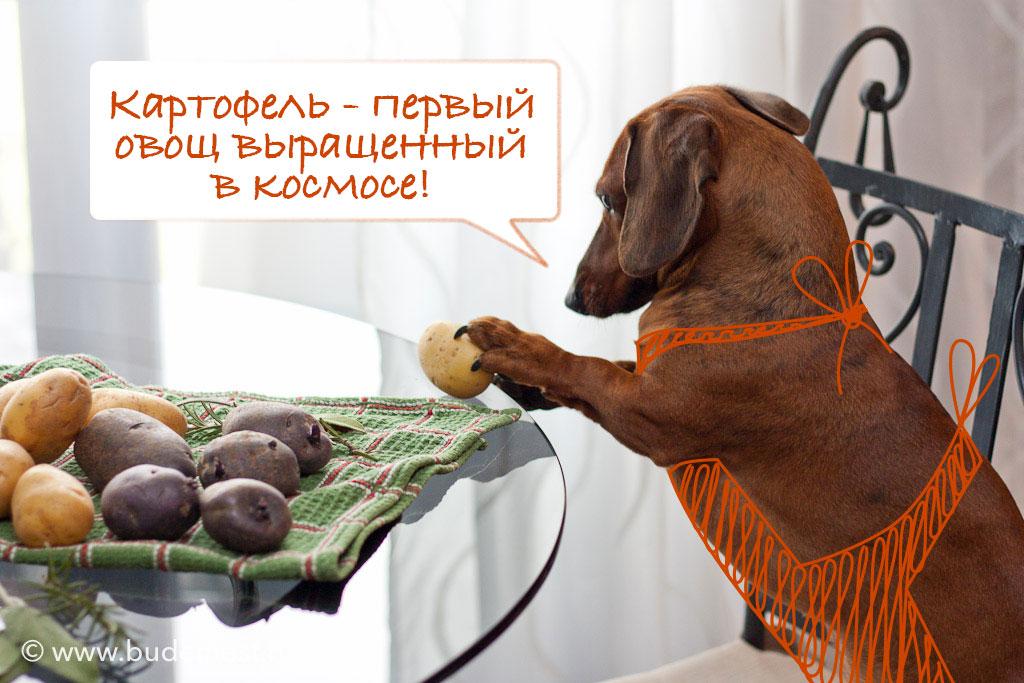 Пёсик-Фердидосик выбирает картофель