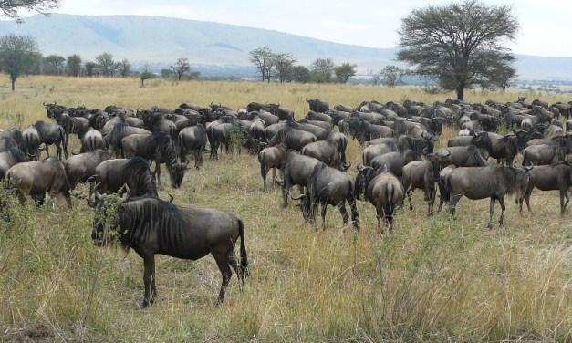 15 Day Tour to Wildebeest Migration in Serengeti