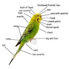 Skin Anatomy Diagram Labeled Plot Of A Graphic Novel Budgie Body Parts