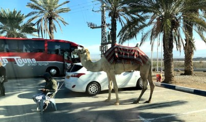 Camelo no caminho para Masada