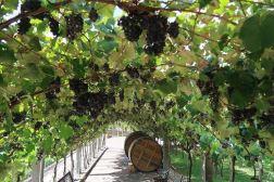 parreira uvas casa valduga vinicola vale dos vinhedos