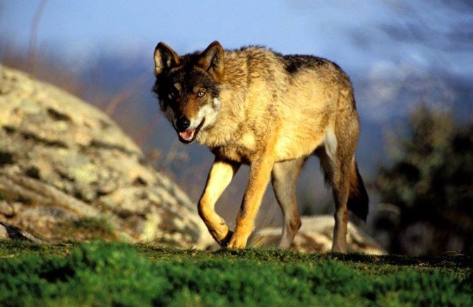 Tribunal Superior Justicia de Castilla y León anula el 'Plan del Lobo'