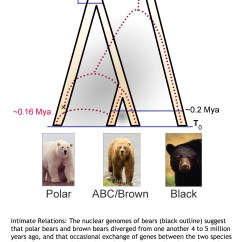 Brown Bear Diagram Trailer Wiring 5 Pin Plug Polar Evolution Tracked Climate Change New Dna Study