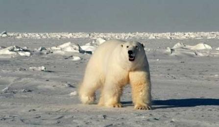 polar bear looking straight at camera