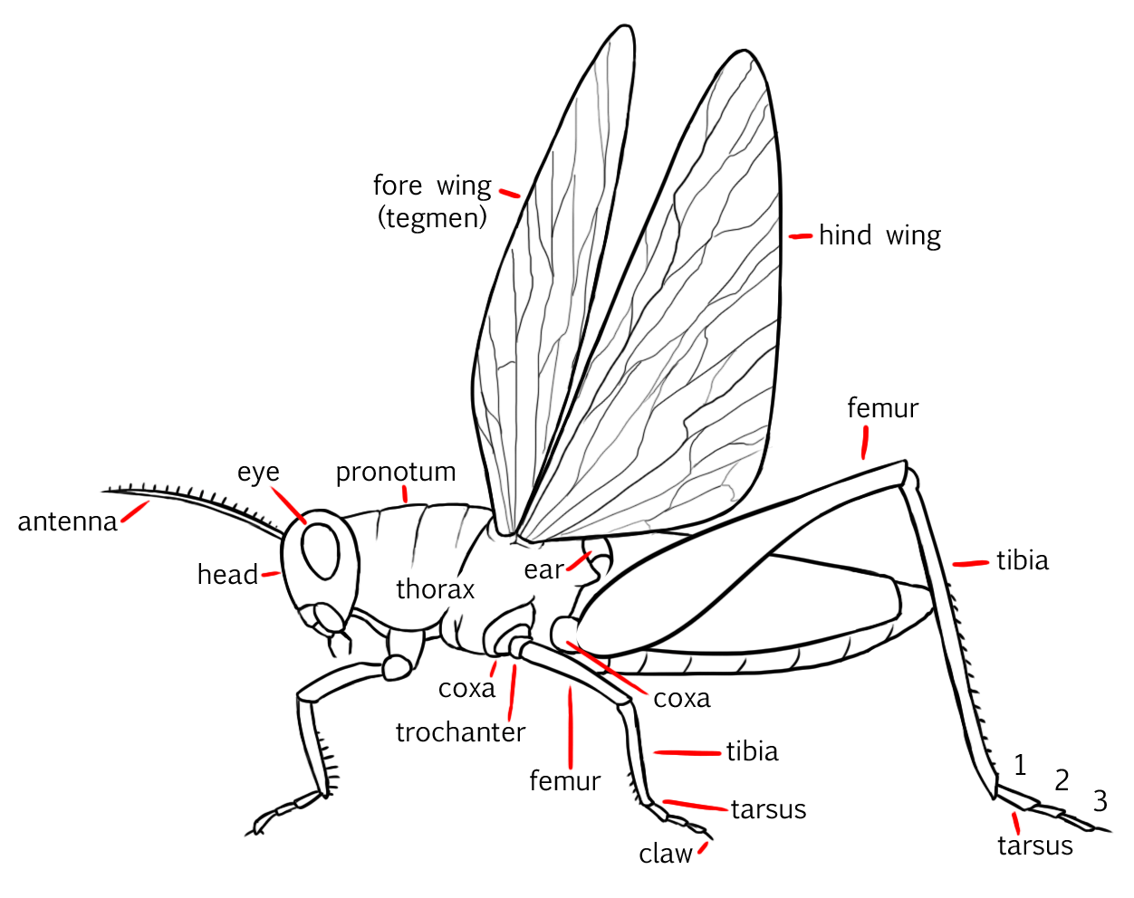 A Diagram Of Insecta