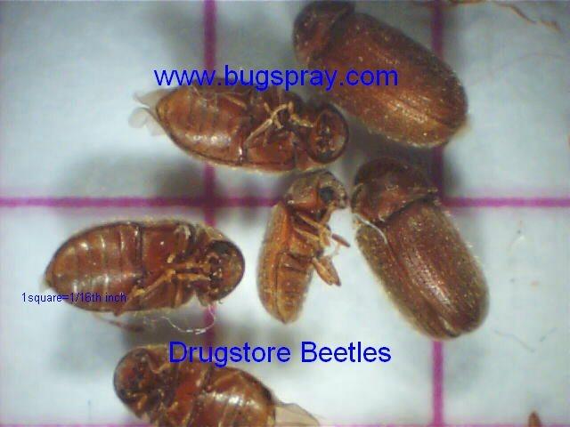 drugstore beetles picture Drugstore Beetles Picture