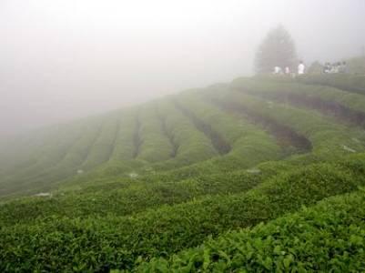 Foggy green tea plantation
