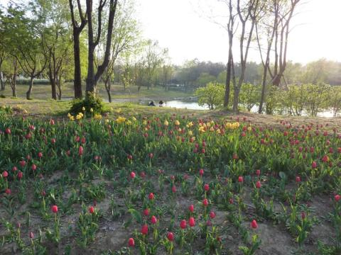 Tulips at Seoul Forest