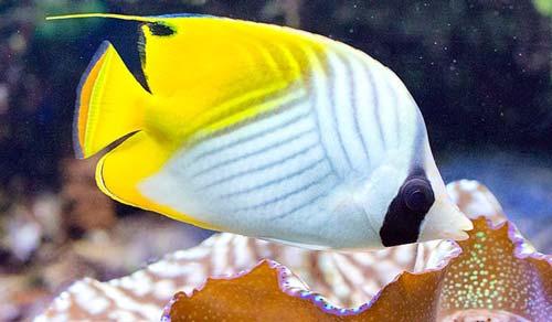 Ikan Auriga Butterflyfish