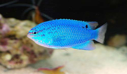 Ikan laut Damselfish