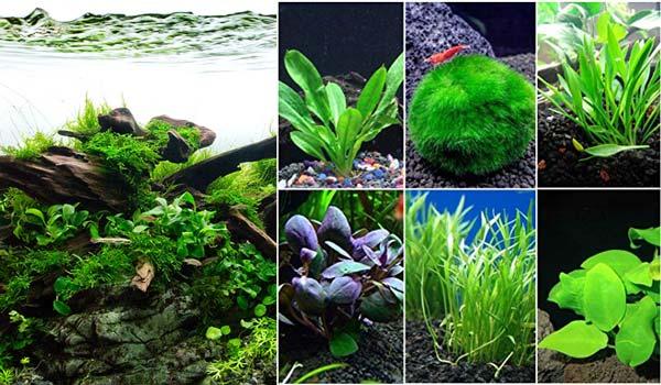 Tanaman Aquascape Tips Memilih Berbagai Tanaman Aquascape