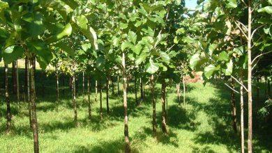 penipuan investasi pohon jati