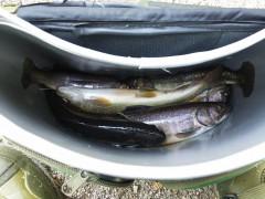 魚籠に入った岩魚