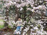 裏庭の八重桜