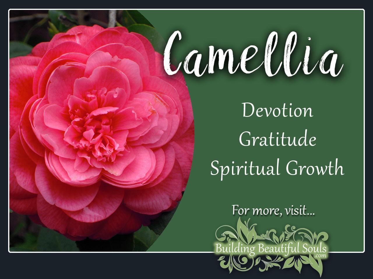 camellia meaning symbolism flower