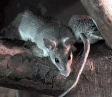 rats other wood damaging pest