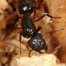 wood damaging pest the carpenter ant