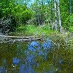 native pond #1
