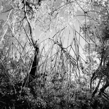 Red Mangrove Trees, No Name Key, FL