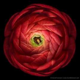 Ruby Red Ranunculus