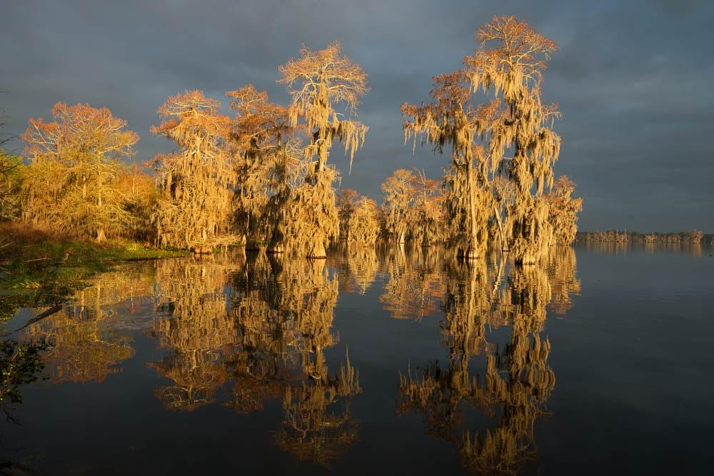 A momentary shaft of sun peers through cloudy skies to brilliantly light up Spanish moss covered bald cypress trees.
