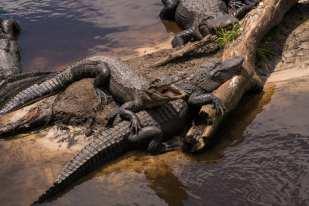 Alligator Farm, Saint Augustine 2016 ©Judy Lampert