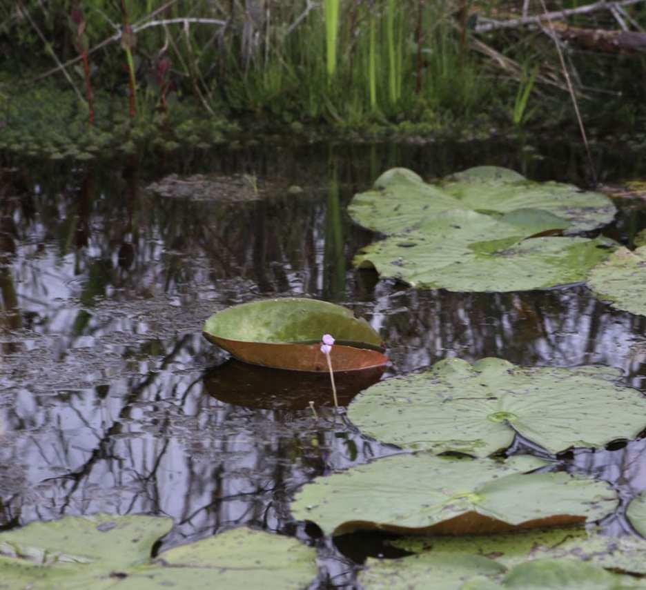 Swamp Chalice ©EA Raines-Whorton