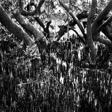 Black Mangrove Trees & Roots, Mullet Key, FL