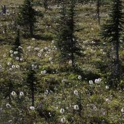 Western Anemone in fruit stage with high sub-alpine fir trees on the Whaleback, Little Yoho Valley, Yoho National Park, Canada ©Peter Essick
