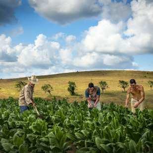 Family in Tobacco Field, Taguasco, Sancti Spiritus ©Chip Cooper