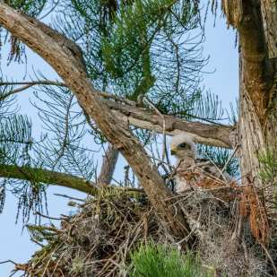 Fledgling Hawk ©Lynne Buchanan