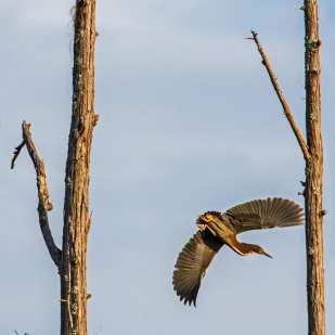Heron Flying ©Lynne Buchanan